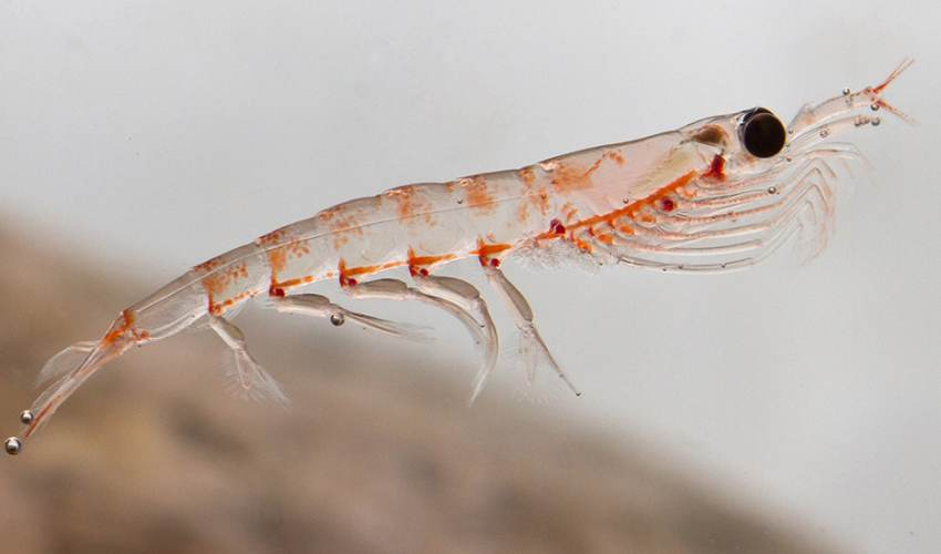 Antarctic krill: Key food source moves south - news of today